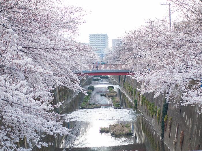 川沿いに咲き誇る桜並木