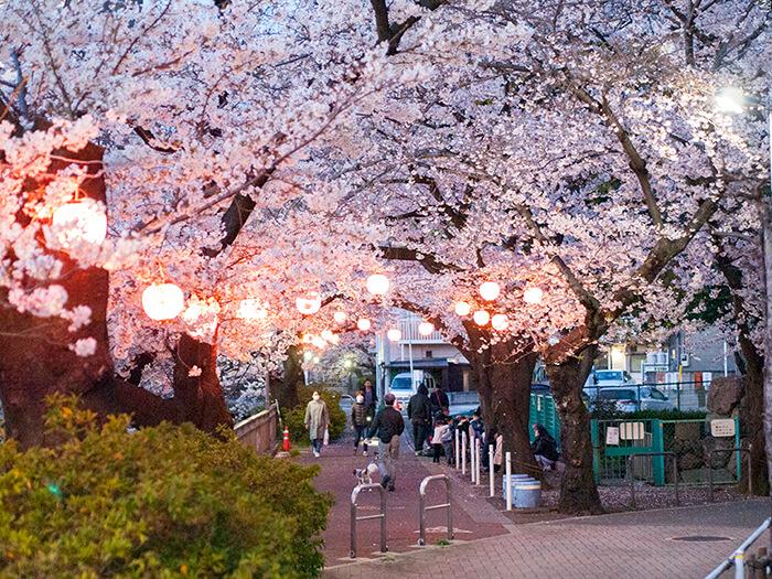 夕方の桜並木