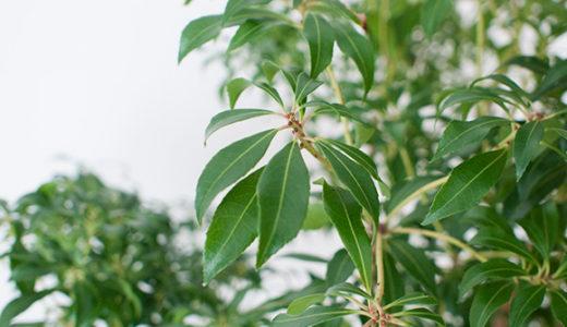 インテリアグリーン/枝物をドウダンツツジからあせびに。