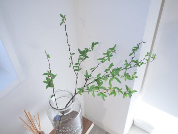 小手毬 観葉植物