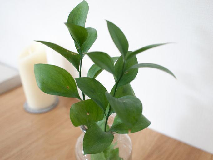 マルバルスカスの葉
