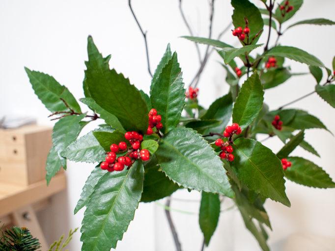 千両 紅の葉と赤い実