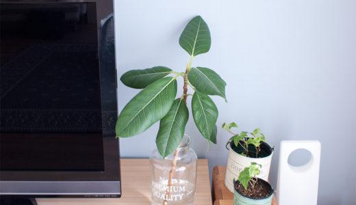 観葉植物フィカス:超初心者が初めて剪定と植替えをした体験談