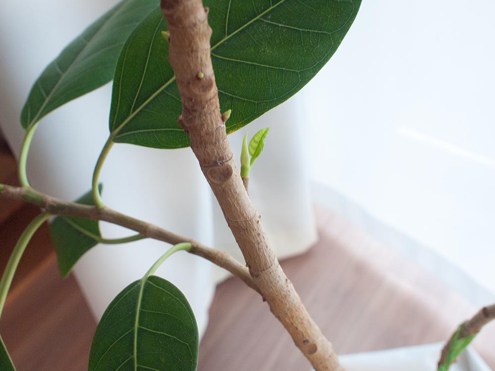 新芽が伸びてきたフィカス