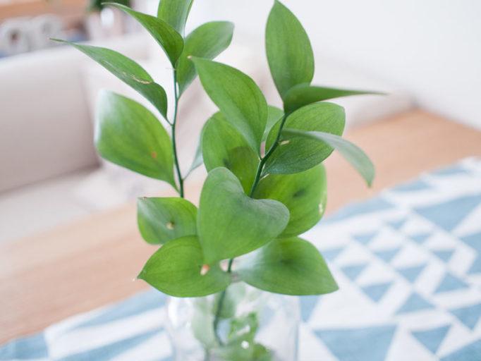 長持ちするインテリアグリーン マルバスルカスの葉