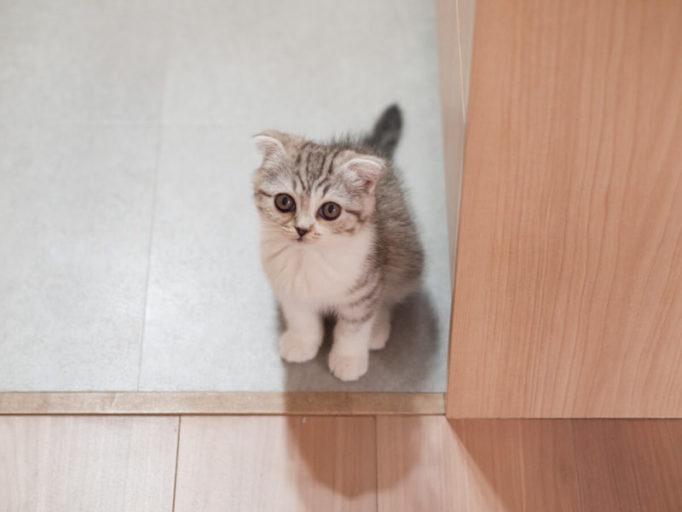 生後2ヶ月の猫。スコティッシュ
