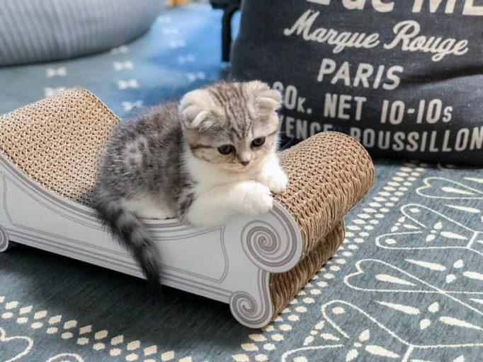 カリカリーナに乗る生後2ヶ月の子猫