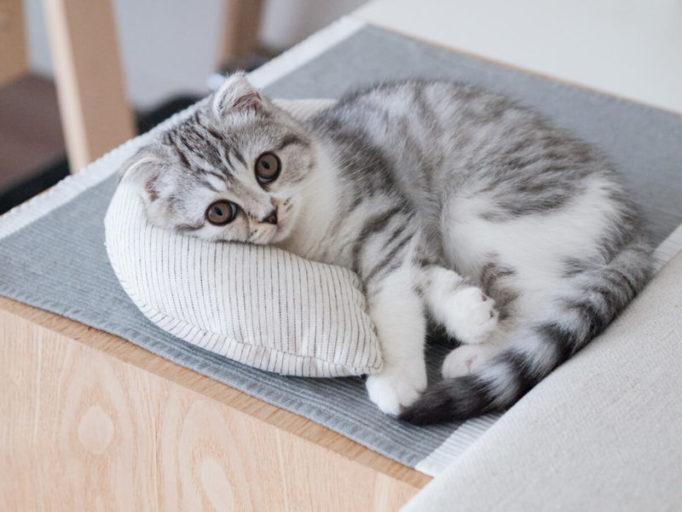 ケリケリピローを枕にする猫