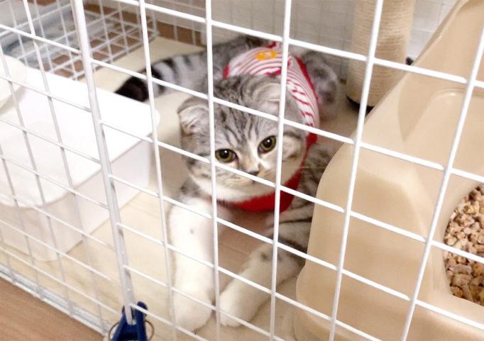 術後服を着てケージに入っている猫