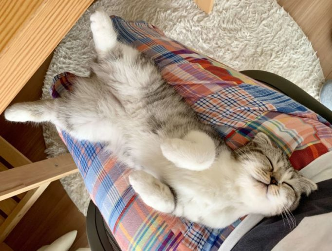 膝の上でヘソ天で眠る猫