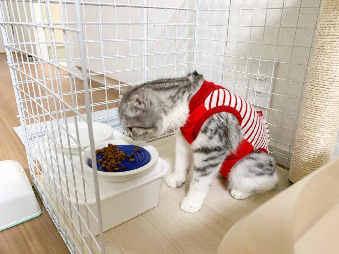術後服を着てごはんを食べる猫