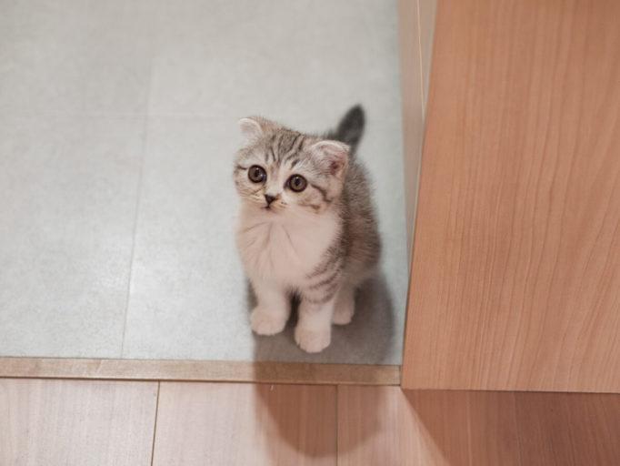 生後2ヶ月のスコティッシュの子猫