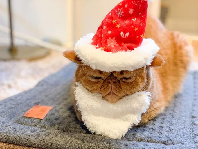 クリスマス衣装を身につけた猫
