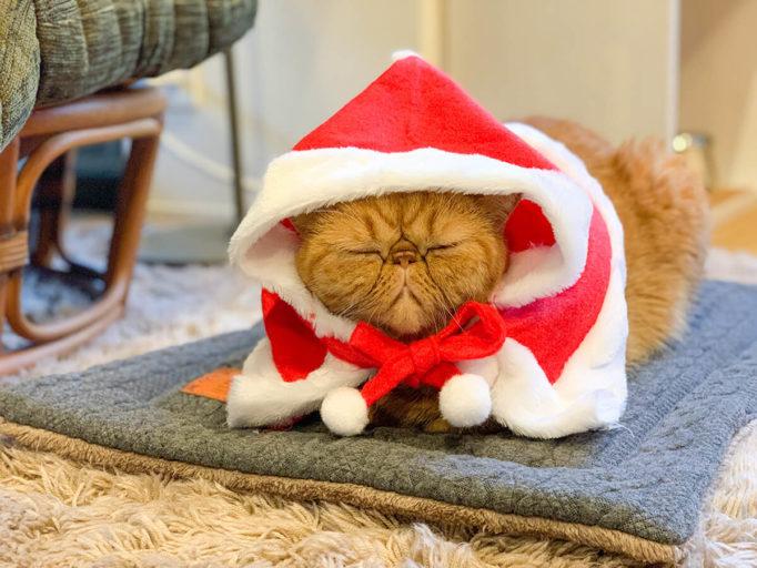 クリスマス衣装を着た猫エキゾチックショートヘアー