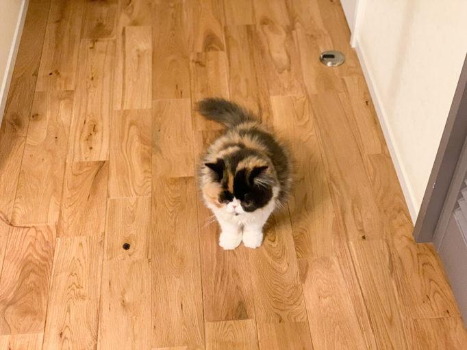 エキゾチックショートヘアーの子猫