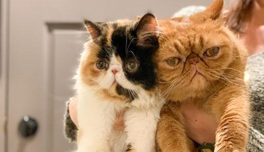 エキゾチックショートヘアーの子猫に会いに行くの巻