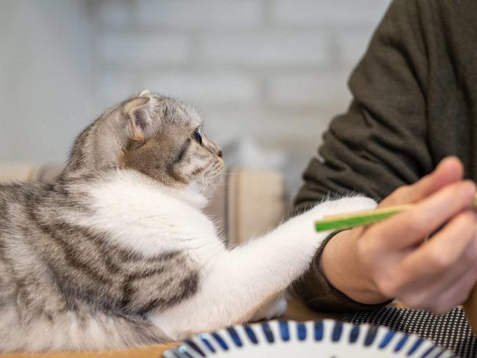 お手をしてご飯を催促する猫