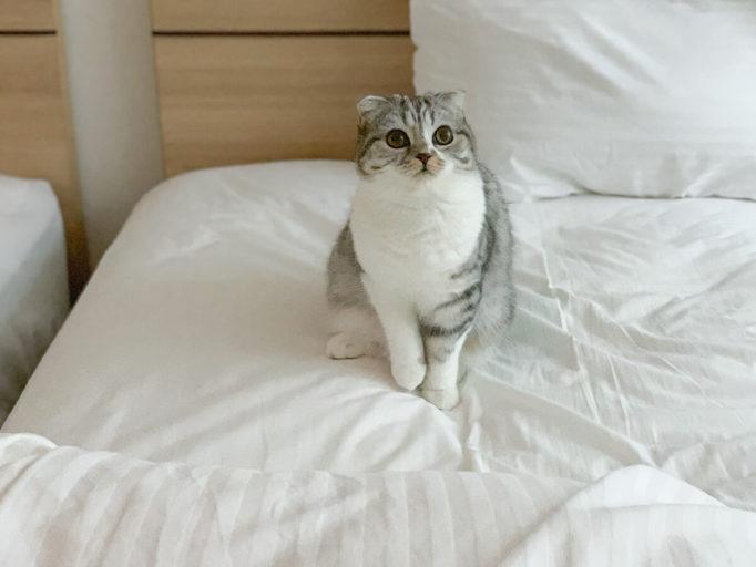スコティッシュフォールドの猫