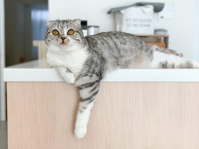 キッチンの上の猫